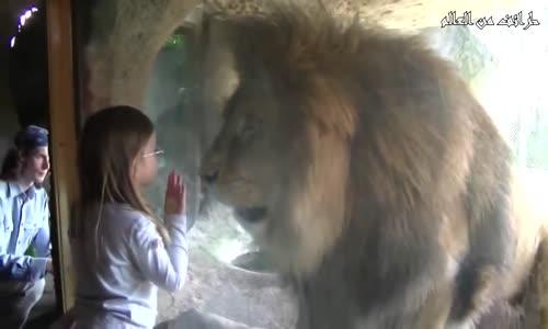 شاهد ردة فعل الأسد على الأطفال في حديقة الحيوانات