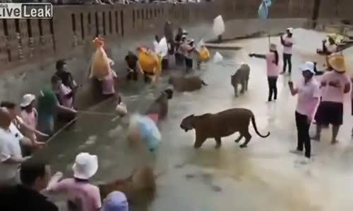 طريقة تسبيح النمور في تايلند .. !!