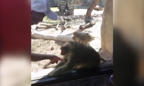 Baboon Is Amazed By Mans Magic Trick