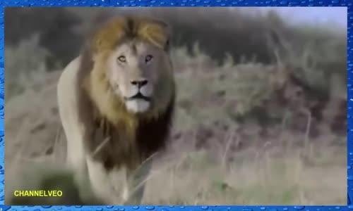 Fact   Mather cheetah Facing a lion to protect Her cubs