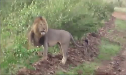 Animal Fight_ Lion vs Lion