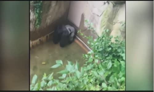 Gorilla grabs child who's fallen into habitat at Cincinnati Zoo