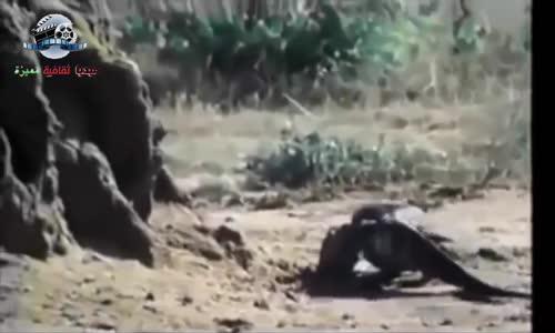 ظهور التنين كومودو فى أخطر هجماته المفترسة على الحيوانات البرية @ كومودو المفترس