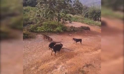 أفعي و مجموعة من الكلاب .. شاهد لمن الغلبة في النهاية