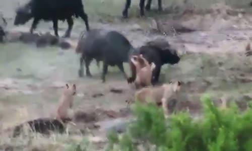 Buffalo Attack and Kills  Lion