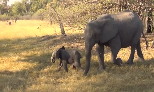 Cute Baby Elephant Calf Charges Safari Vehicle