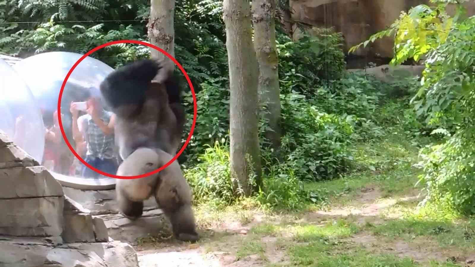 Gorilla attack human!