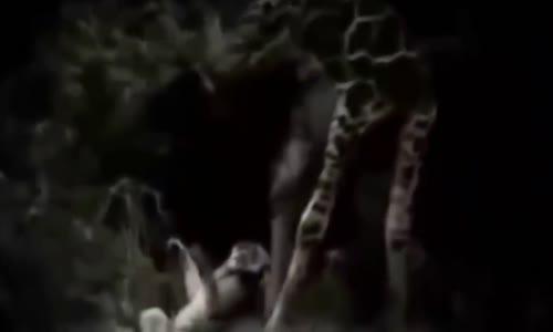 Animal fights _ Lions attacks giraffe
