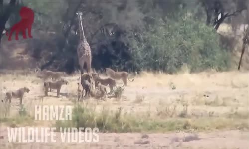 LION vs GIRAFFE FIGHT TO DEATH