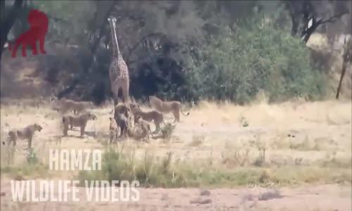 LION vs GIRAFFE FIGHT TO DEATH