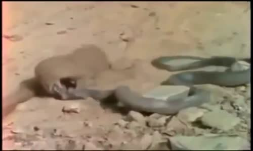 Snake fight Videos Compilation