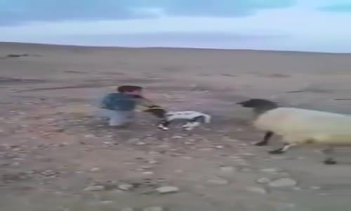 when a kid loves a sheep..