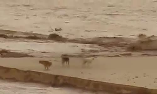 موقف محزن لثلاثة كلاب بـ واد مزي الاغواط  حاصرهم الفيضان