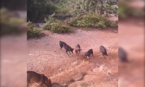 أفعي & مجموعة من الكلاب  .. شاهد لمن الغلبة في النهاية