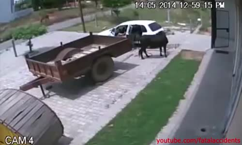 Thieves stealing a cow for food in India