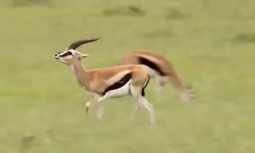 la course du guepard   le roi de la vitesse 110km h