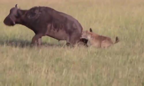 اجمل اروع افتراس ضباع تانزانيا splendide hyene devore buffle vivant