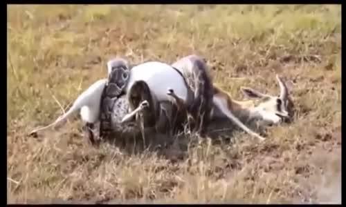 Anaconda étouffe une gazelle الاناكوندا تسحق غزالا
