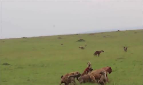 Lions vs hyènes اسود ضد ضباع