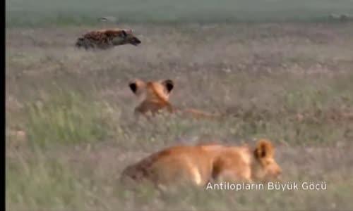 كره الأسود الضباع  lion vs hyène