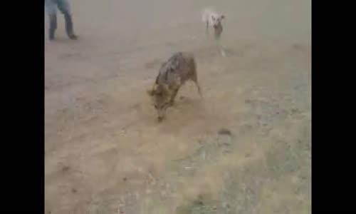 صيد الذئب بمجموعة كلاب !!!!!