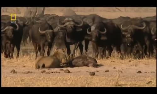 عالم الافتراس الأسود lion vs buffle