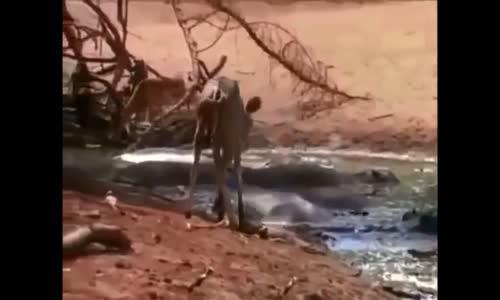 Les crocodiles التماسيح والصراع على الخياة