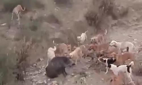 قطيع من الكلاب يفترس خنزير بريا! !!!!!!!