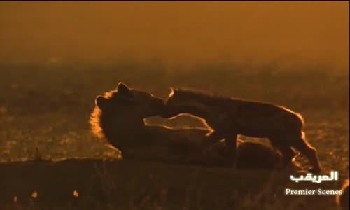 الأسود تحفر جرح ضيع لقتل صغارها  lion vs hyène