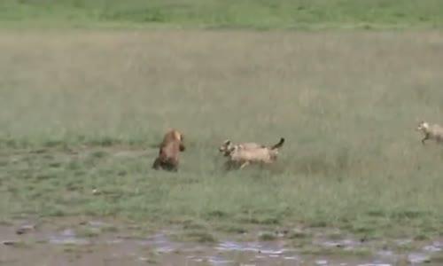 hyene de tanyanieاروع افتراس ضباع تانزانيا