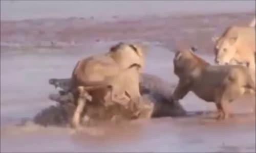 عالم الحيوانات  الاسود والتماسيح