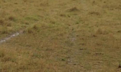 Hyena Eats Wildebeest خطير ضبع  يفترس نوا بدون رحمة