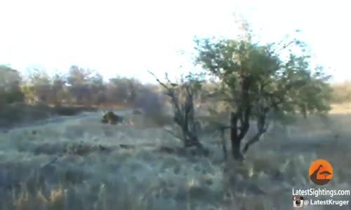 La guerre des lionsعالم الافتراس الاسود