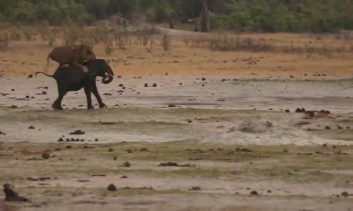 إسدان يفترسان فيلا صغيرا elephanteau vs lions