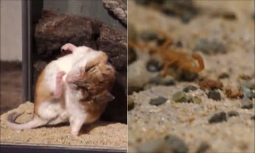 صراع العقرب مع الفأر scorpion vs souris