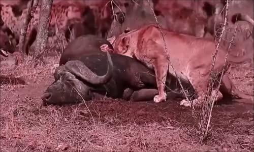 La haine entre les lions et les hyenesمعركة الاسود والضباع