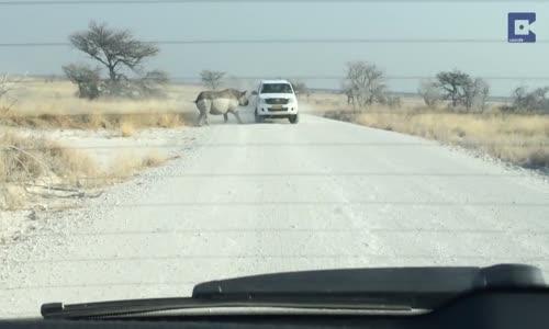 Rhinoceros attaque une voiture en namibie