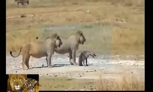 حرب الأسود والضياع lion vs hyène