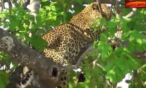 عالم الفهود  léopard  et guepard