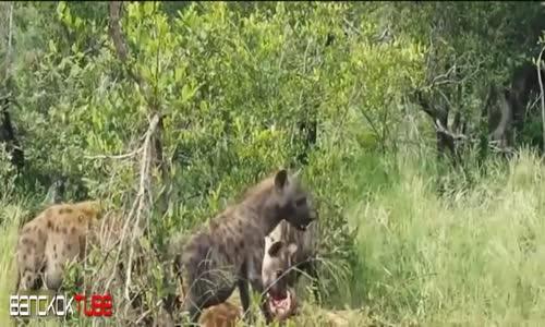عالم الافتراس animaux carnivores(1)