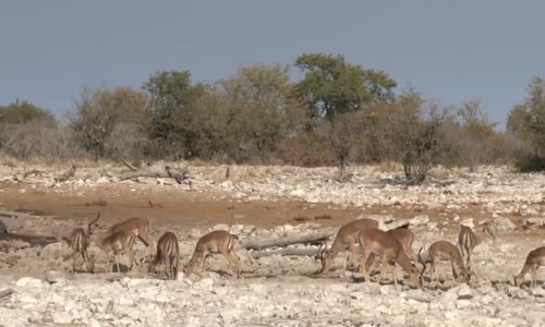Etocha أجمل منتزهات أفريقيا للحيوانات ناميبيا