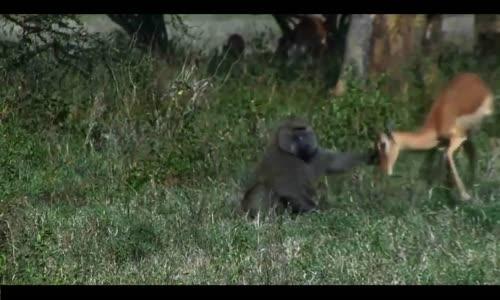 عالم الافتراس animaux carnivores(3)