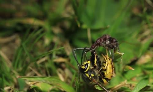 قتال بين دبور ونملة