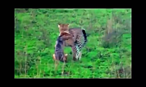 عالم الحيوانات اقوى لحظات الافتراس magnifique attaque