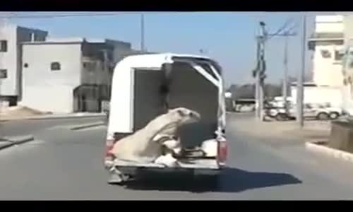 لحظه ( سقوط بعير ) بالشارع من احدى سيارات النقل دون علم السائق
