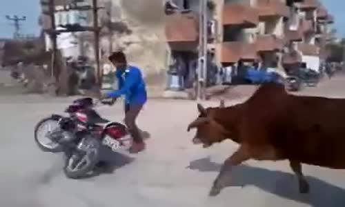 هندي يستعرض بالدراجه الناريه فقام يطارده ( البقر )