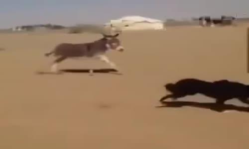( حمار عامل نفسه كلب ) ويحرس المخيم
