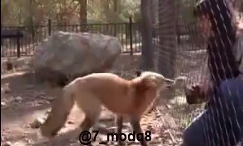 فيديو طريف لثعلب يقوم بالقفز مقابل إعطائه الأكل